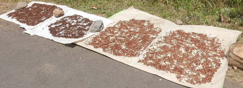 Cloves drying in the sun on Bali